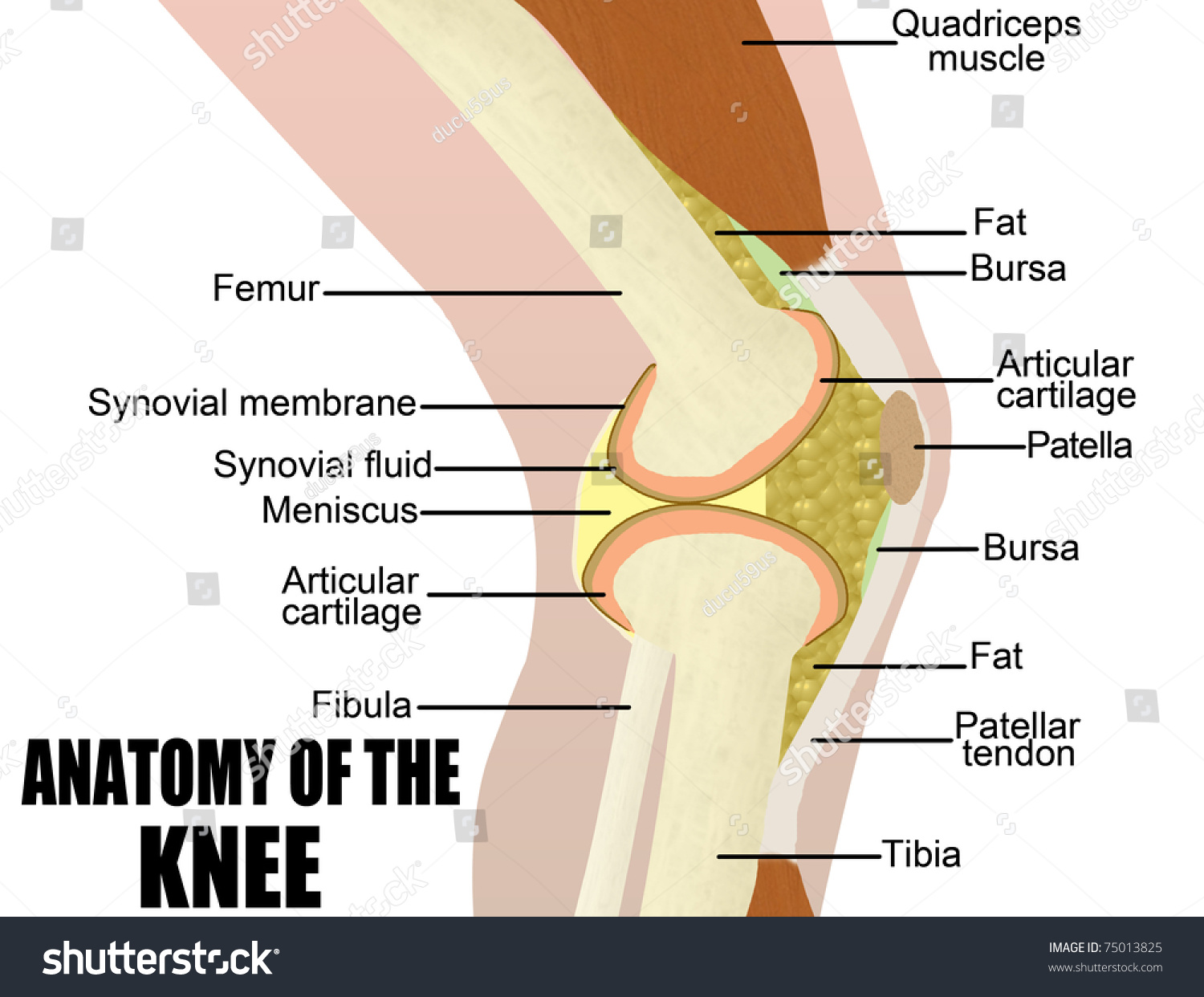 Anatomy knee vector illustration for basic stock vector 75013825 anatomy of the knee vector illustration for basic medical education for clinics ccuart Gallery