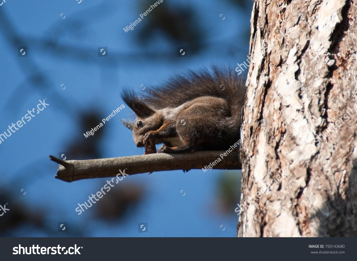 Cute Little Brown Squirrel Long Tail Stock Photo (Royalty Free ...