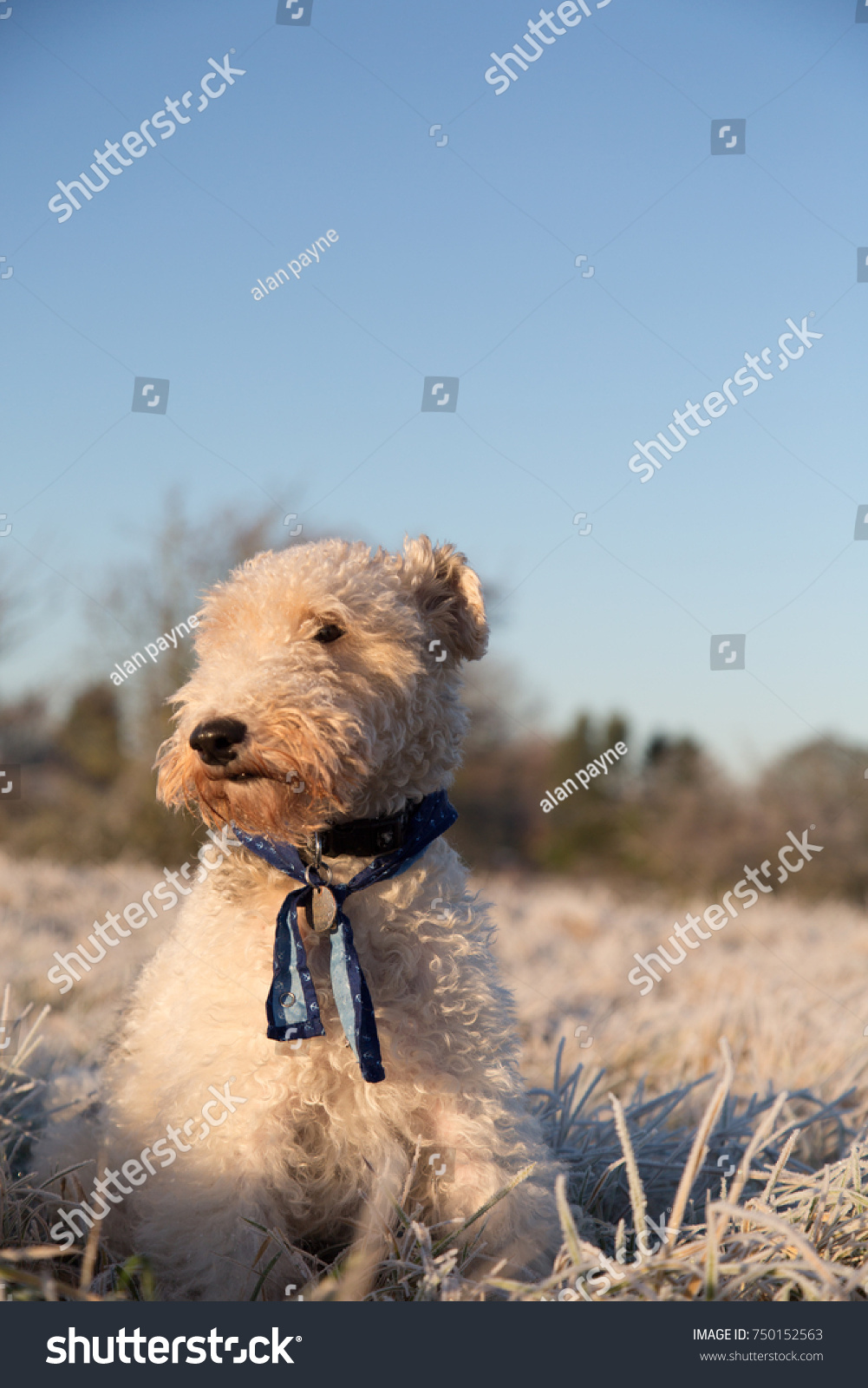 Wire Haired Fox Terrier Dog Winter Stock Photo (Royalty Free ...