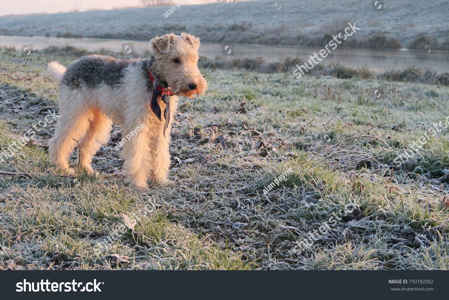 Wire Haired Fox Terrier Dog Frosty Stock Photo (Edit Now) 750182002 ...