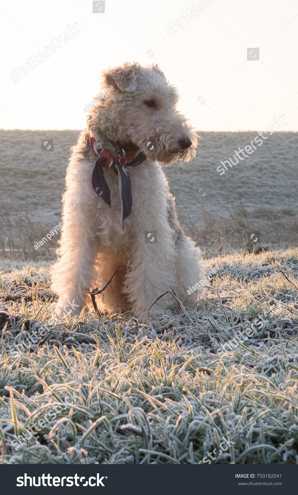 Wire Haired Fox Terrier Dog Frosty Stock Photo (Edit Now) 750182041 ...