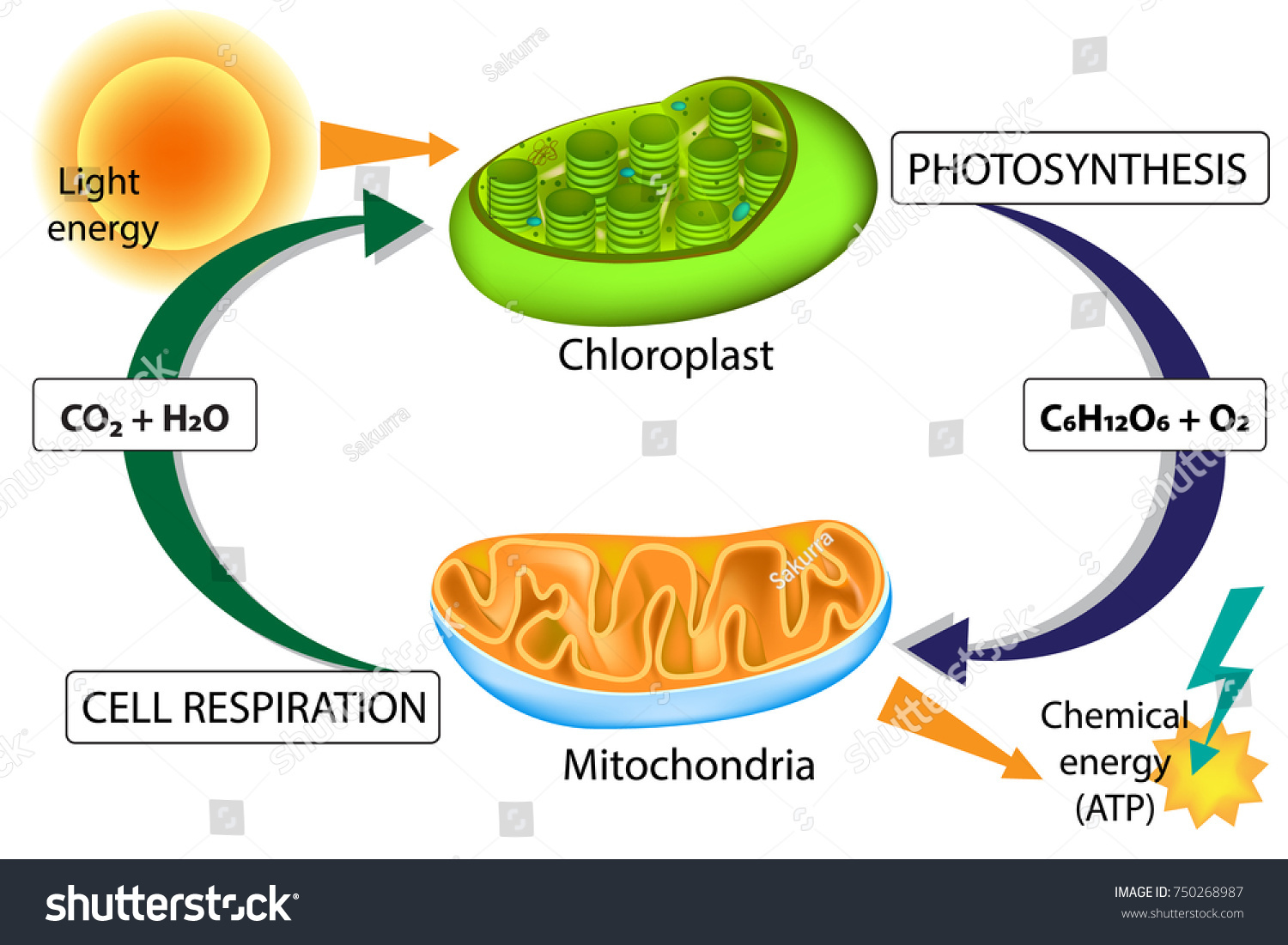 Photosynthesis Cellular Respiration Chloroplast Mitochondria Stock Vector 750268987