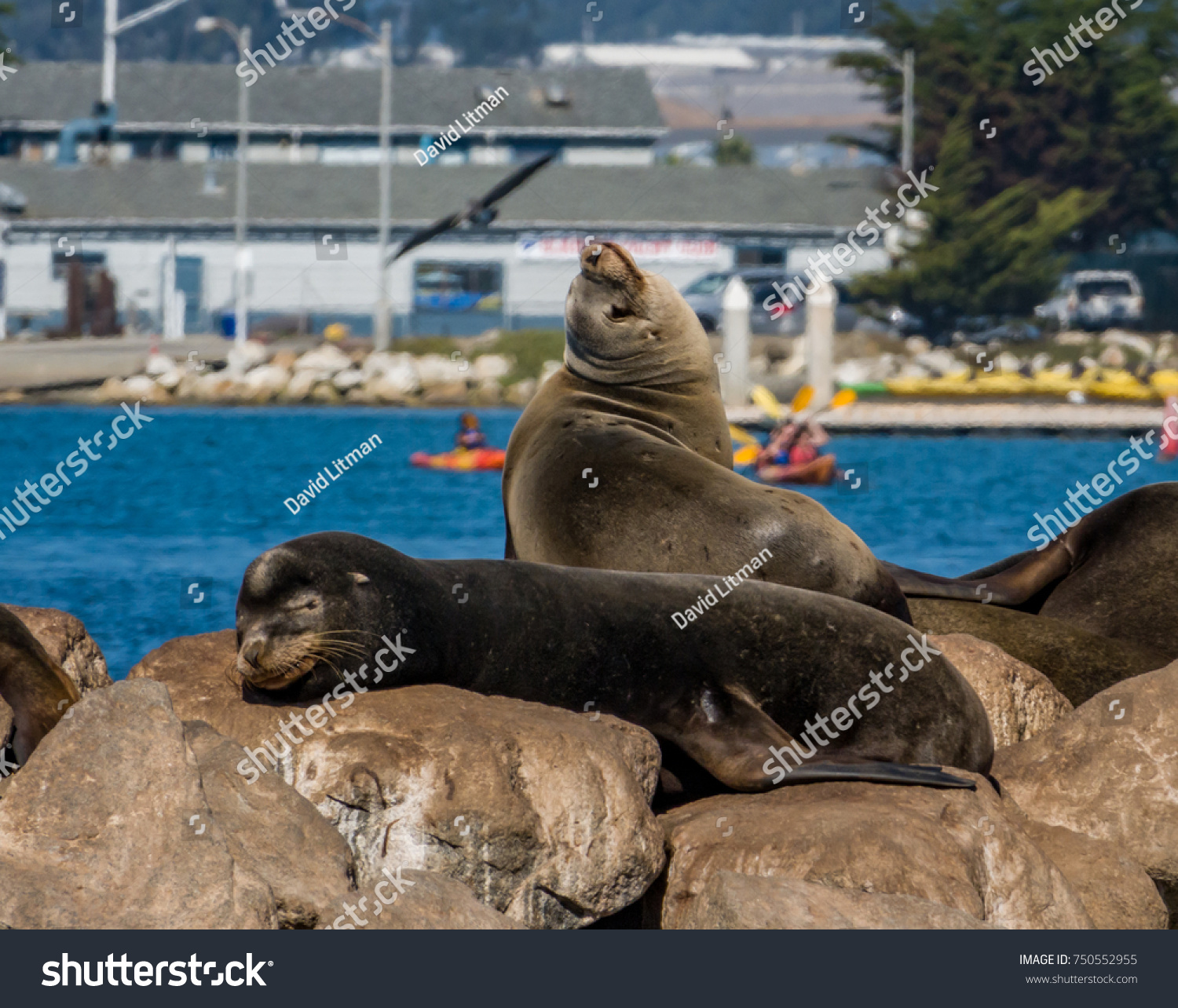 Moss Landing, California - October 27, 2017: Sea Lions lounge on the breakwater at Moss Landing Harbor, in Monterey County, as kayakers paddle in he background and a seagull flies by.