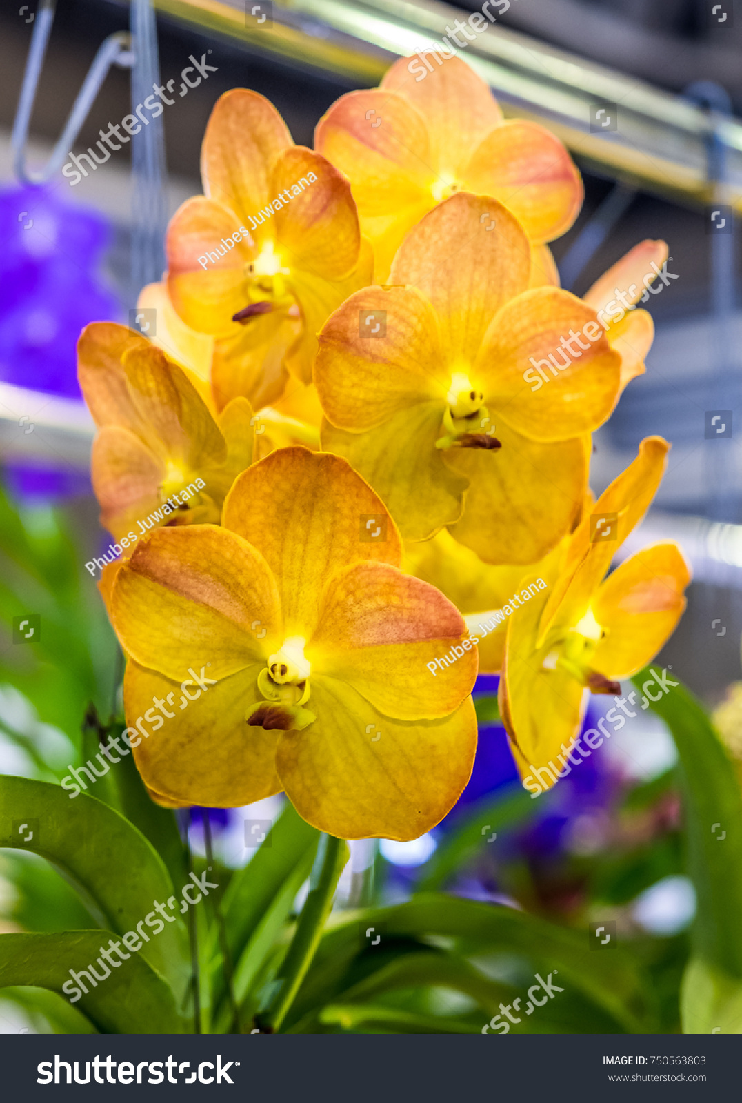 Yellow vanda orchid garden orchids flower stock photo edit now yellow vanda orchid in the garden orchids flower is a beautiful flower in the world izmirmasajfo