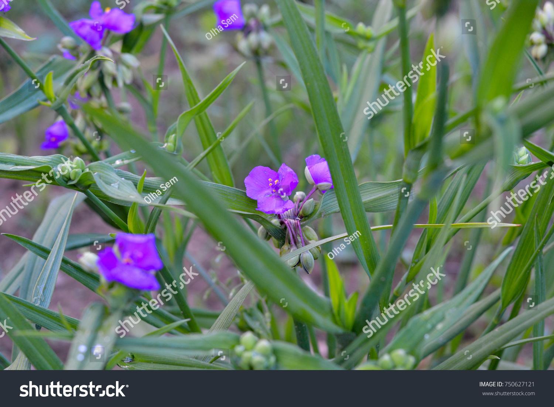 Purple Blue Spiderwort Tradescantia Flowers Trillium Ez Canvas