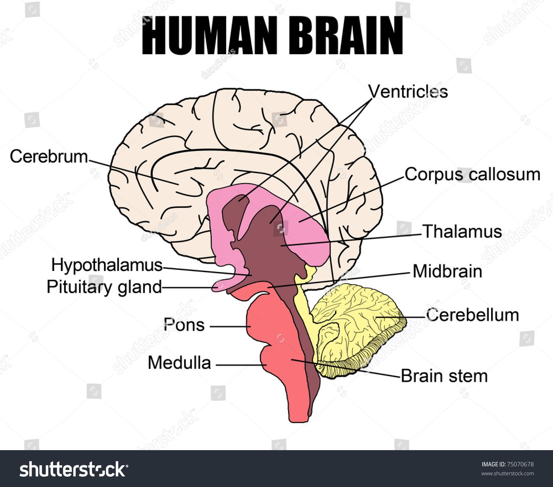 Royalty Free Anatomy Of Human Brain Vector 75070678 Stock Photo
