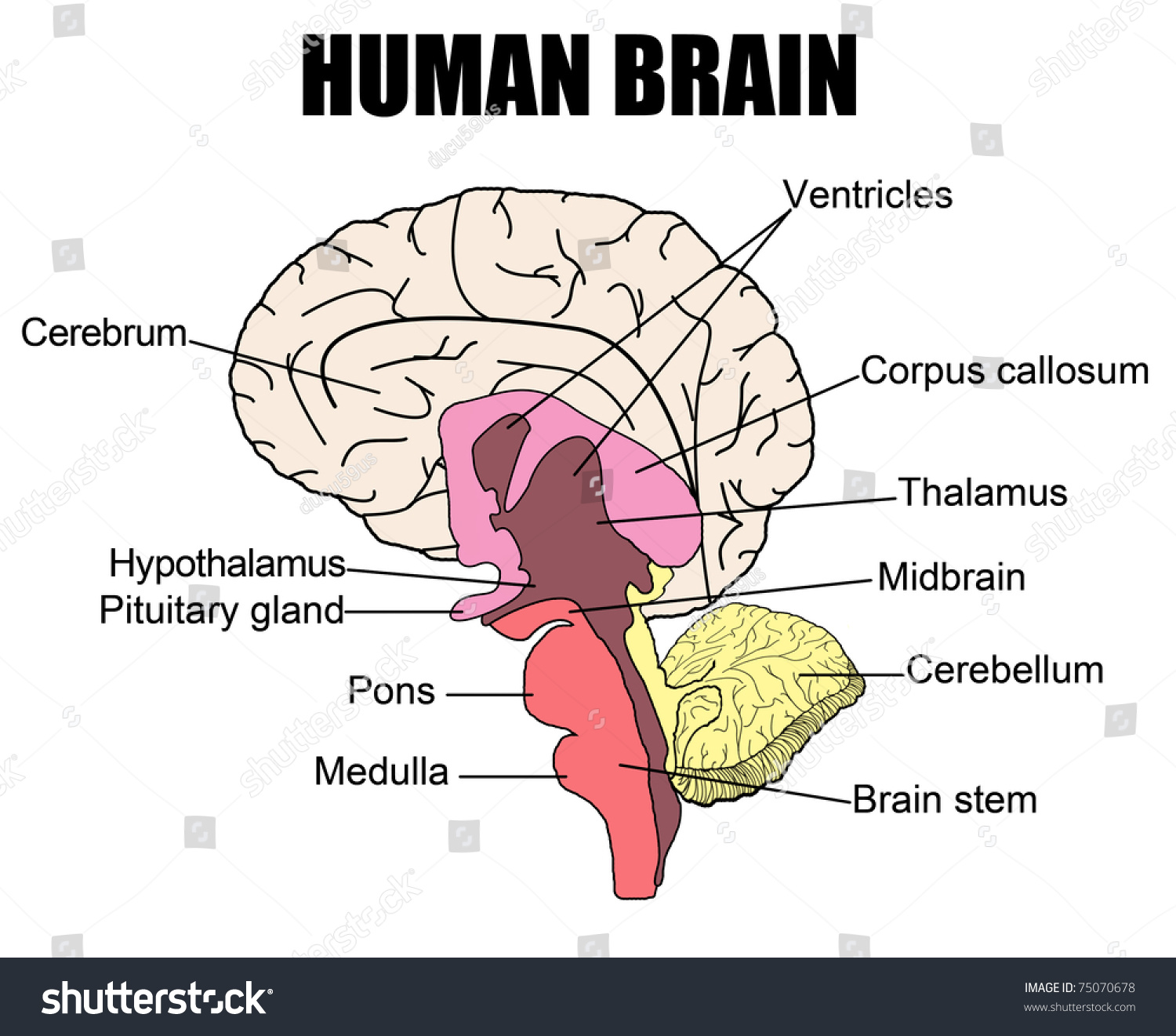 Anatomy Human Brain Vector Illustration For Stock Vector (Royalty ...