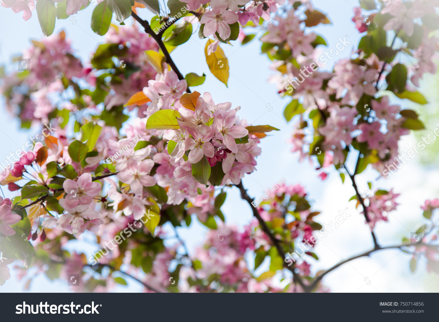 Early Spring White Pink Cherry Tree Stock Photo Edit Now 750714856