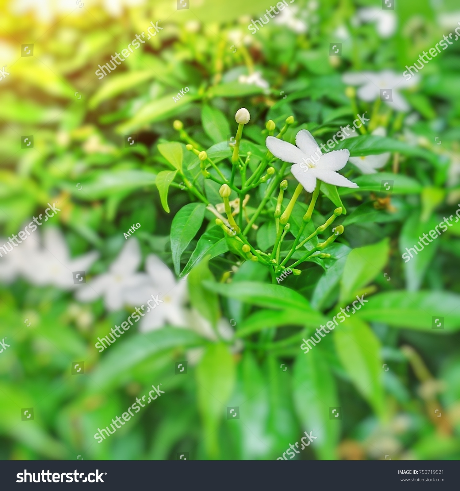White Flowering Shrubs Shown Blooming And Flower Buds With Green