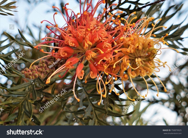 Australian Native Grevillea Tree Orange Yellow Stock Photo Edit Now