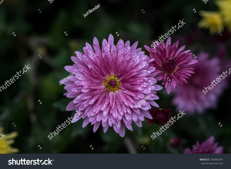 Symmetrical Purple Flower Chrysanthemum Herbaceous Perennials Stock