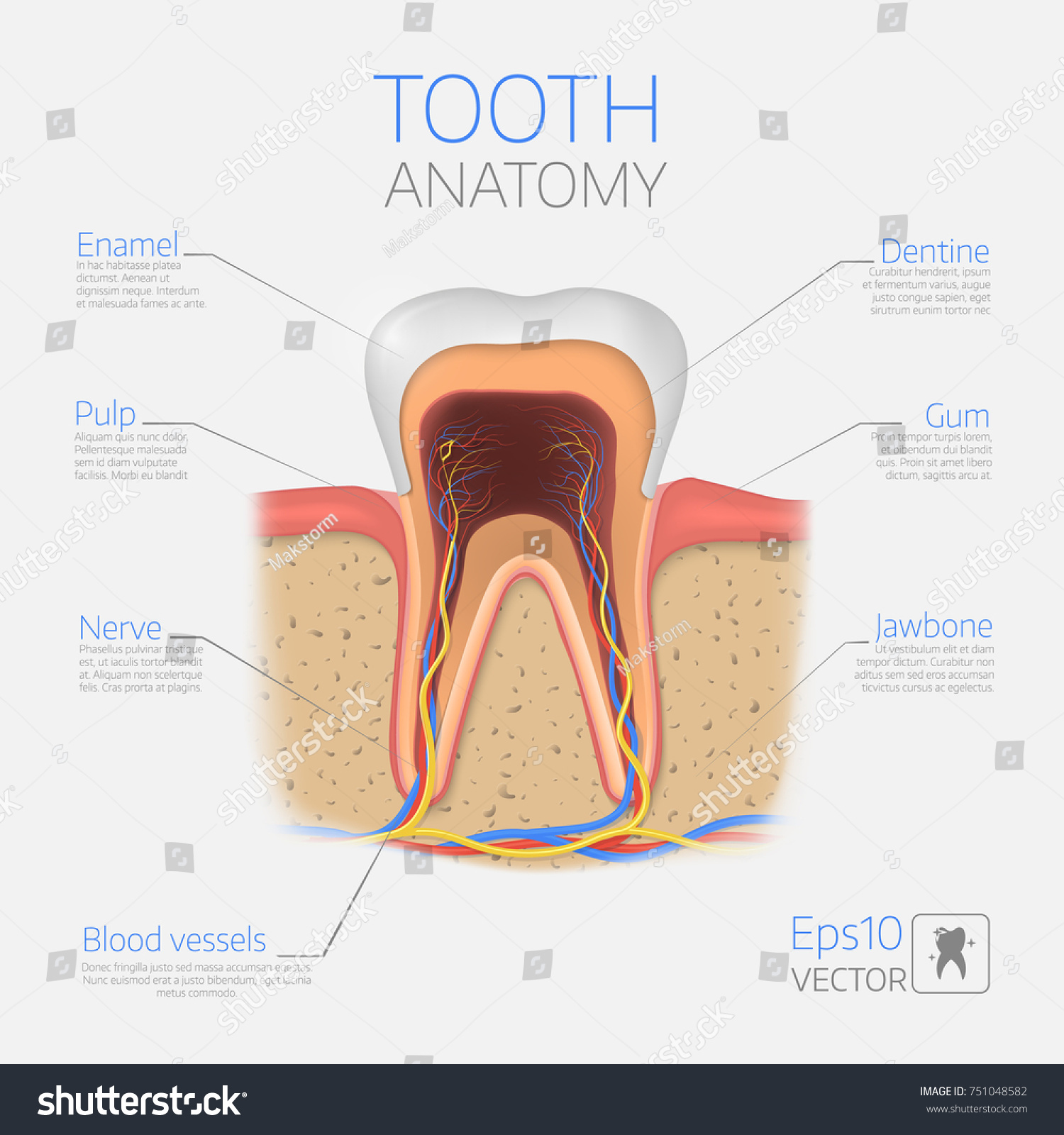Vector Tooth Structure Cross Section Anatomy Stock Vector Royalty