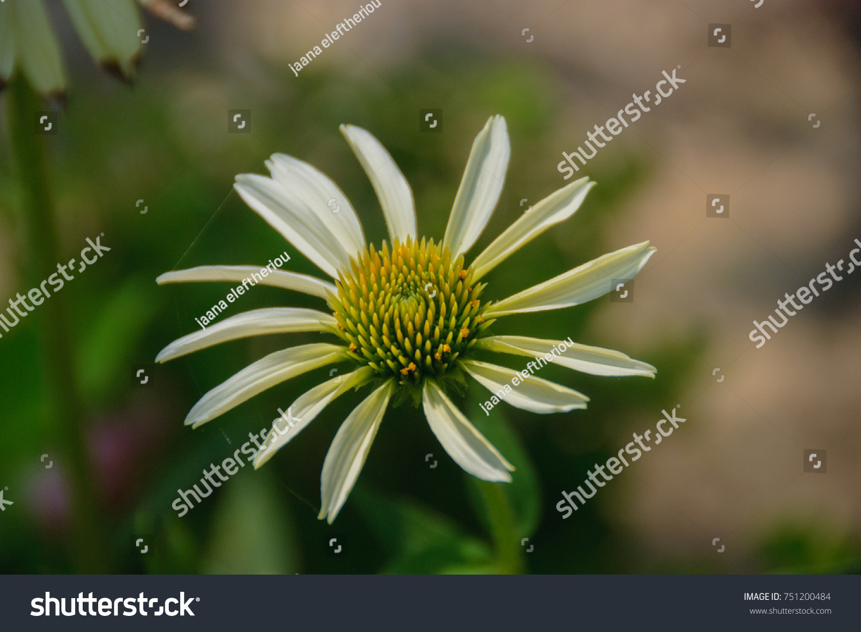 Single Flower White Petals Yellow Center Stock Photo Edit Now