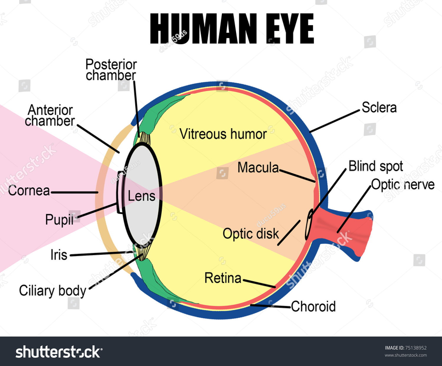 Anatomy Human Eye Vector Illustration For Stock Vector 75138952 ...