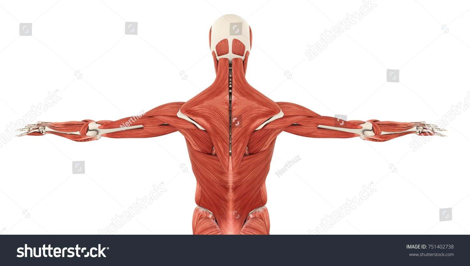 Muscles Back Anatomy 3 D Rendering Stock Illustration 751402738 ...