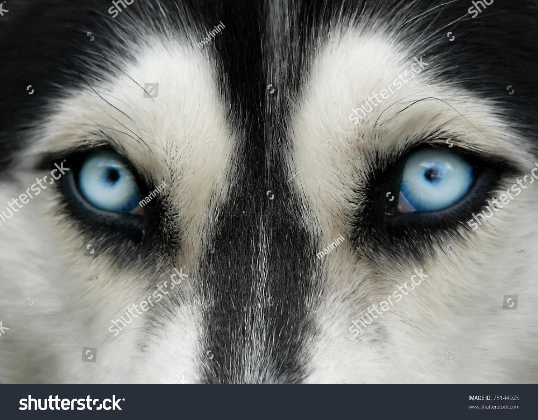 closeup shot husky dog blue eyes stock photo 75144925. Black Bedroom Furniture Sets. Home Design Ideas