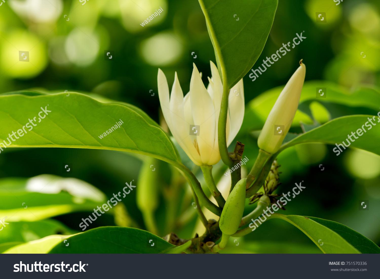 White Chempaka White Sandalwood White Jade Stock Photo Edit Now