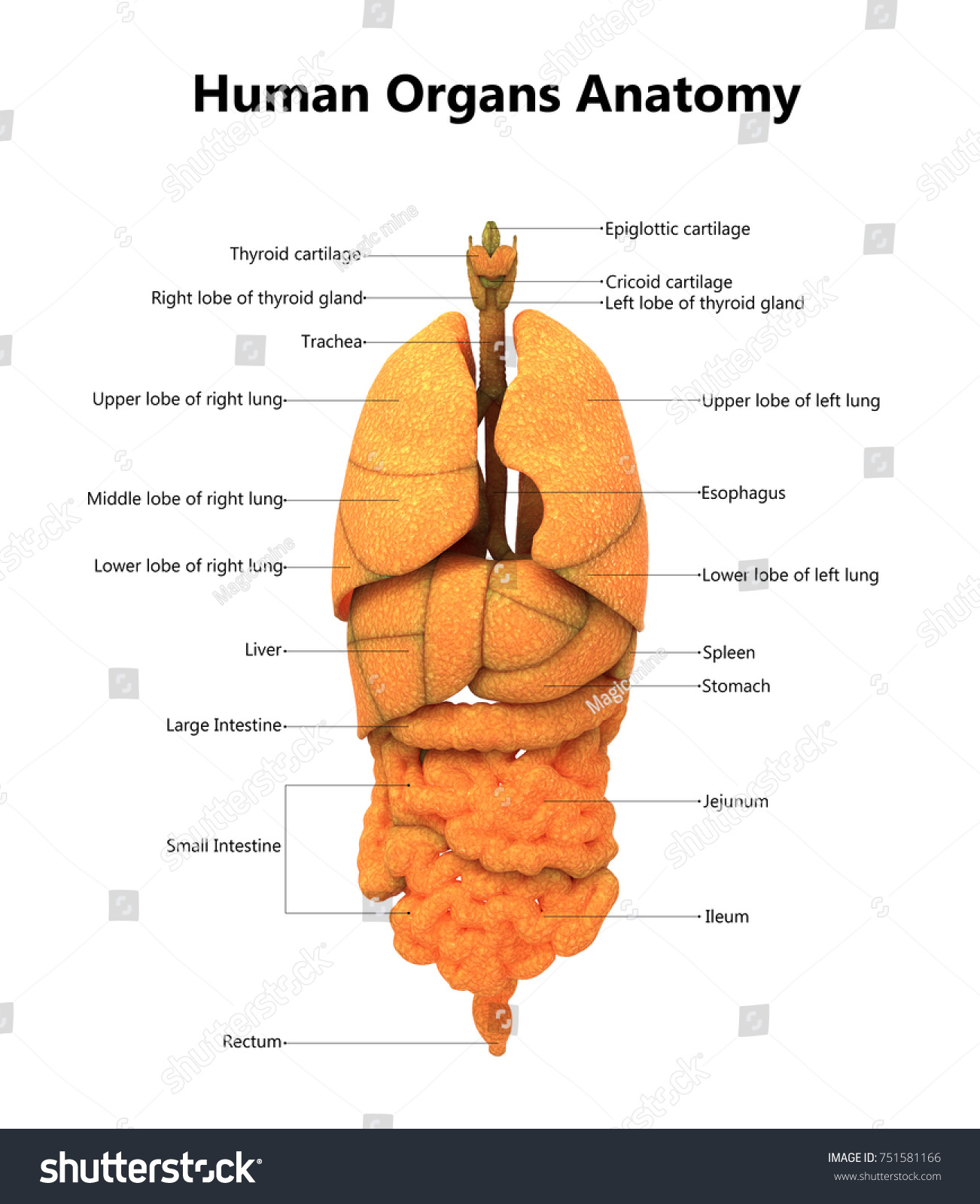 Royalty Free Stock Illustration of Human Body Organs Anatomy ...
