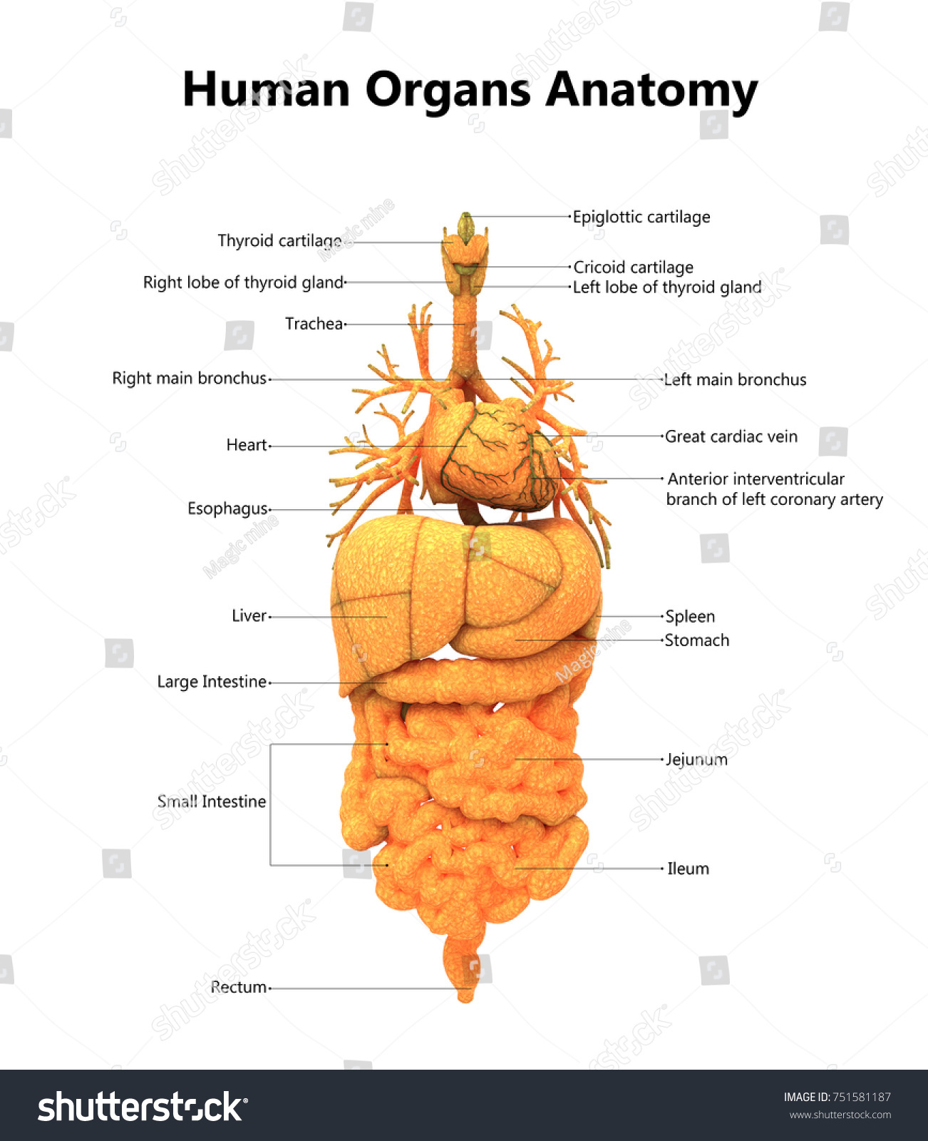 Human Body Organs Anatomy Detailed Labels Stock Illustration ...
