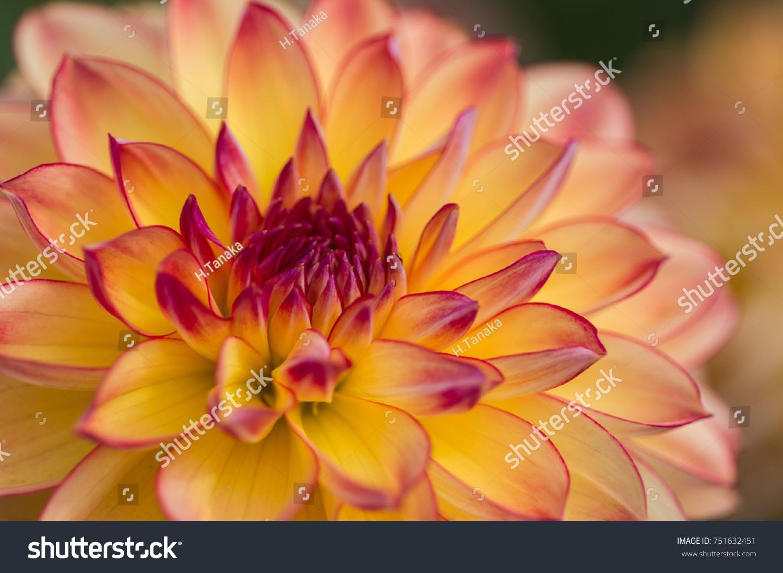 Orange And Purple Dahlia Flower Ez Canvas