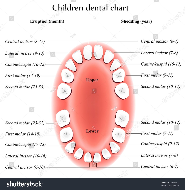 Children Teeth Anatomy Shows Eruption Shedding Stock Illustration
