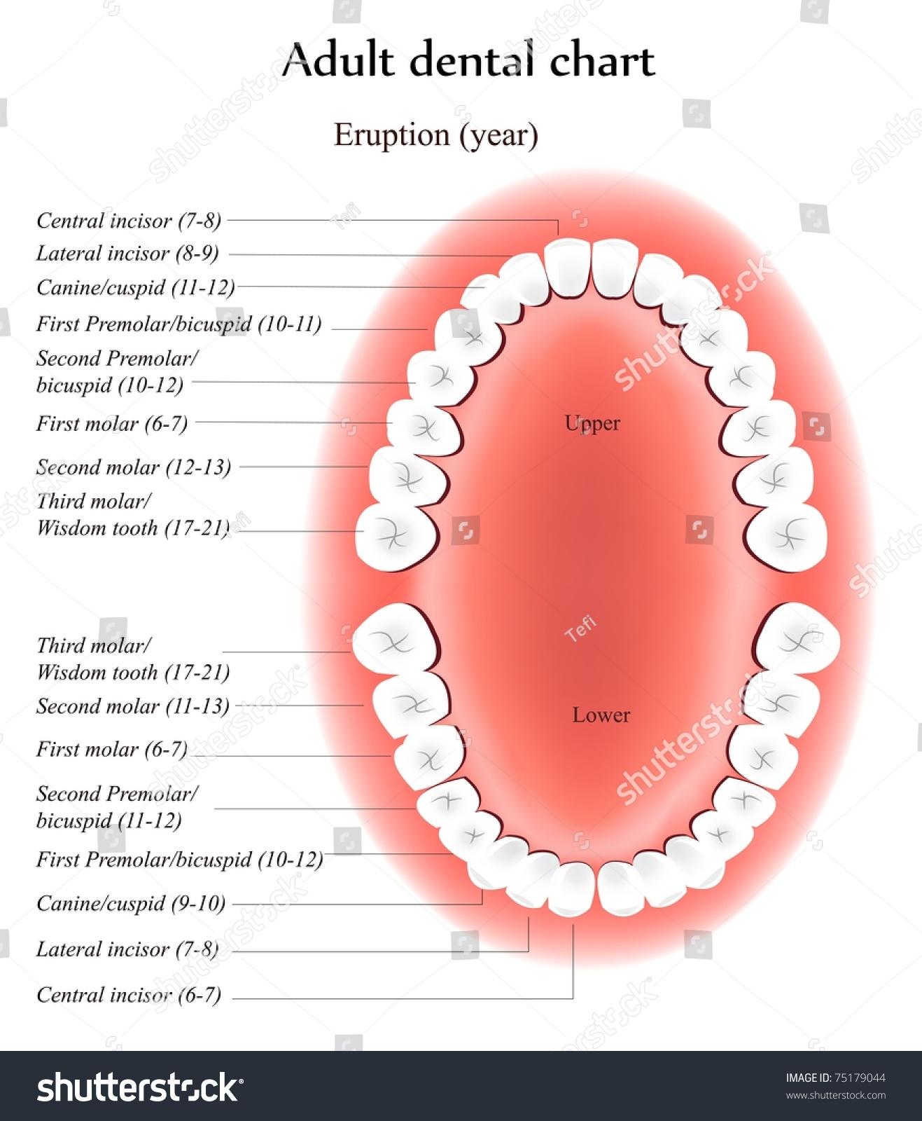 Adult Teeth Anatomy Shows Eruption Time Stock Illustration 75179044 ...