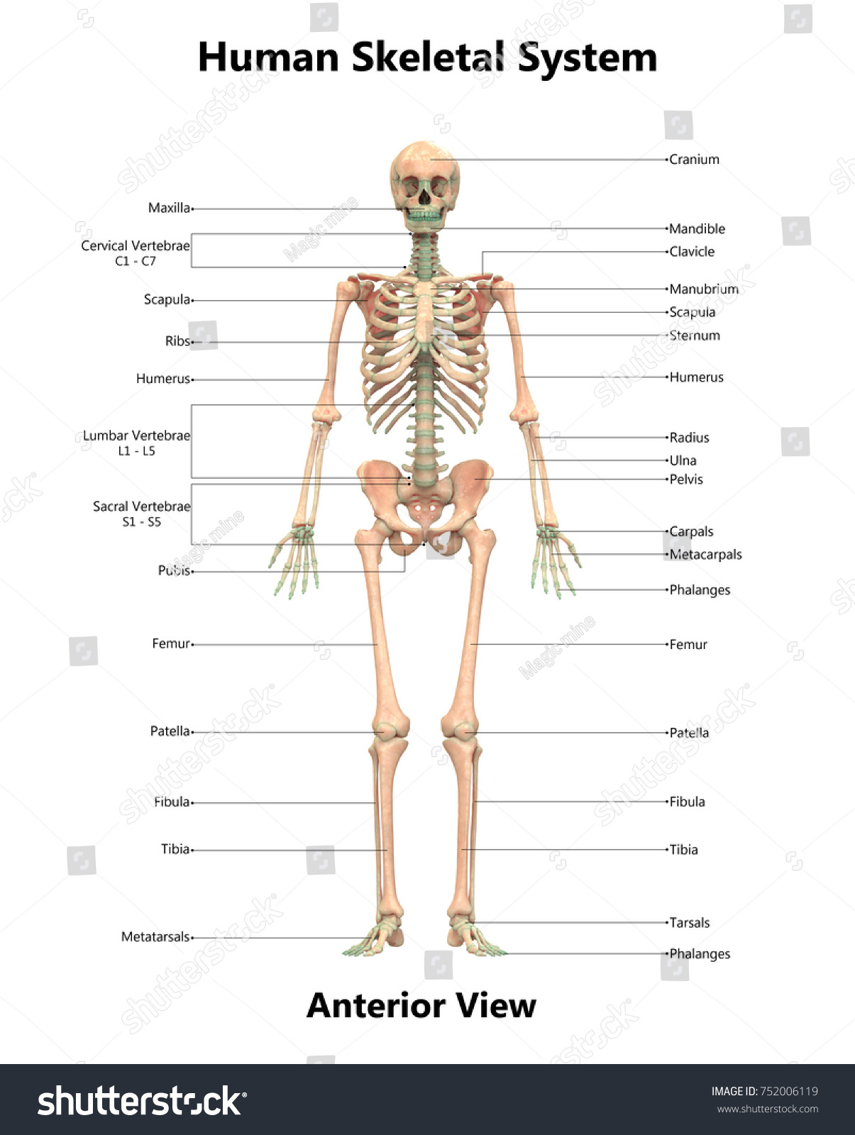 Human Skeletal System Anatomy Detailed Labels Stock Illustration