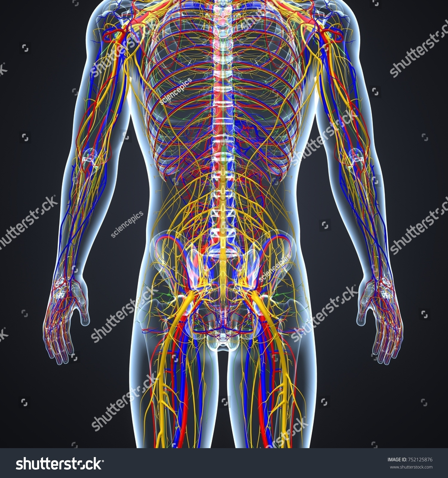 Body Arteries Veins Nerves Lymph Nodes Stockillustration 752125876