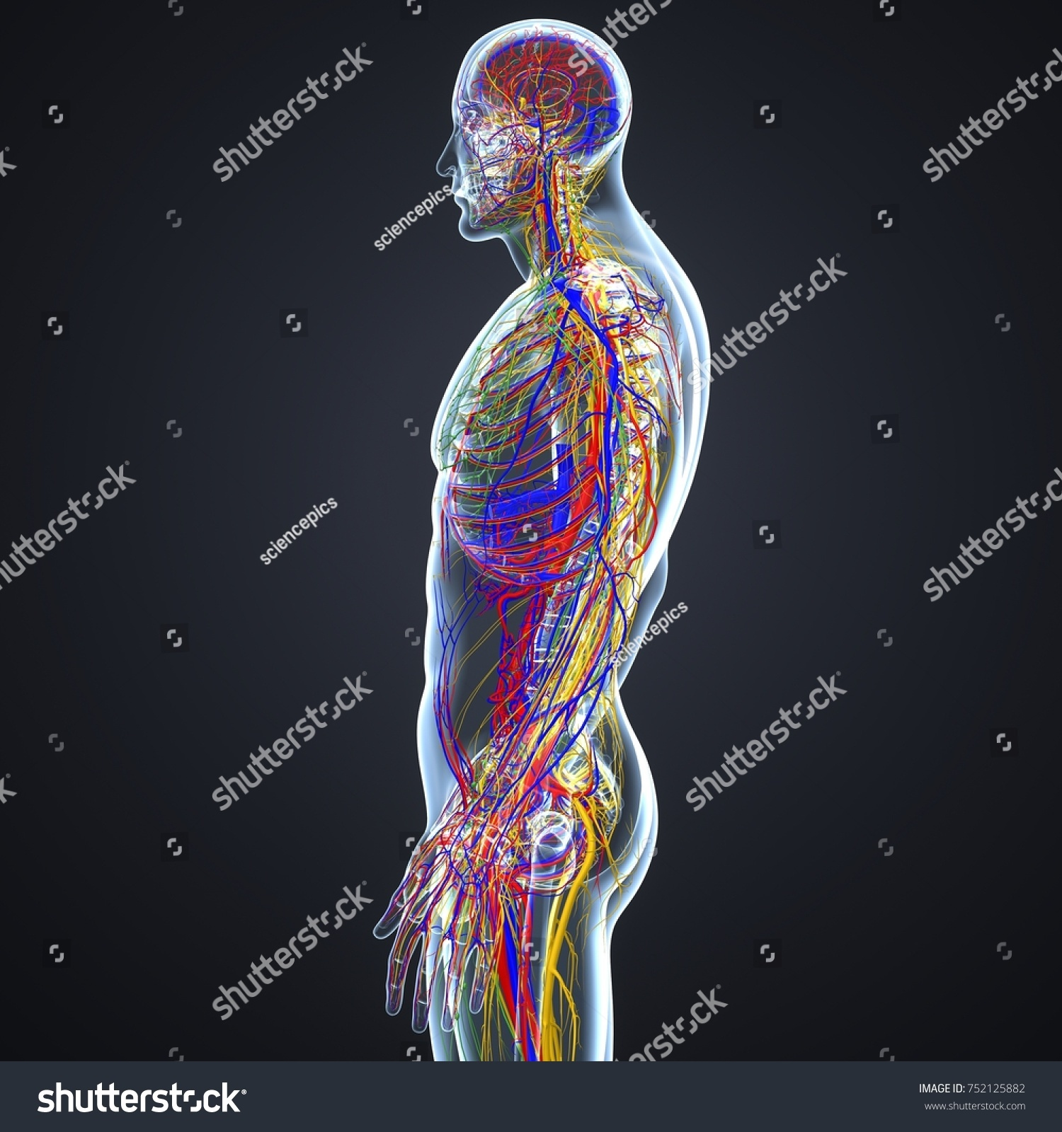 Body Arteries Veins Nerves Lymph Nodes Stockillustration 752125882