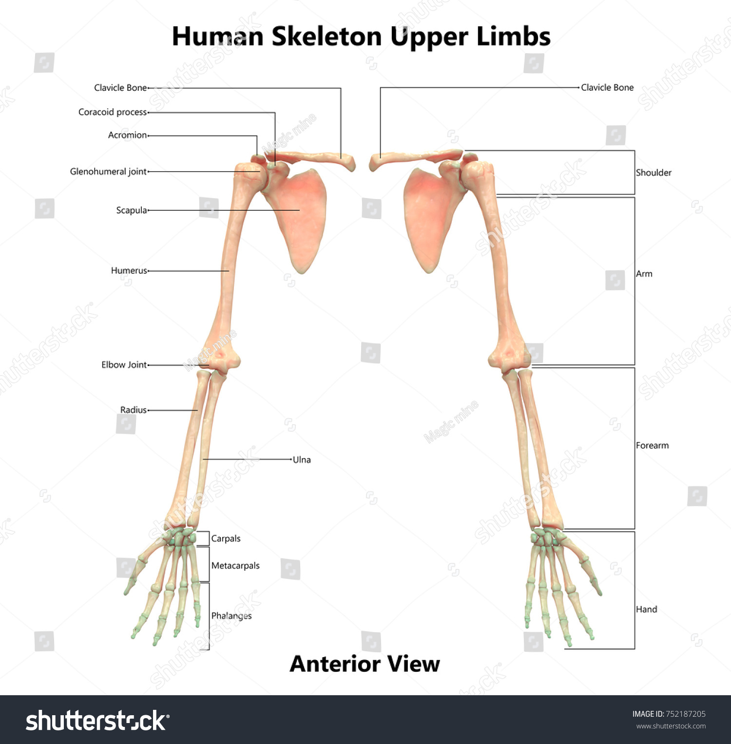 Human Skeleton System Upper Limbs Anatomy Stock Illustration ...