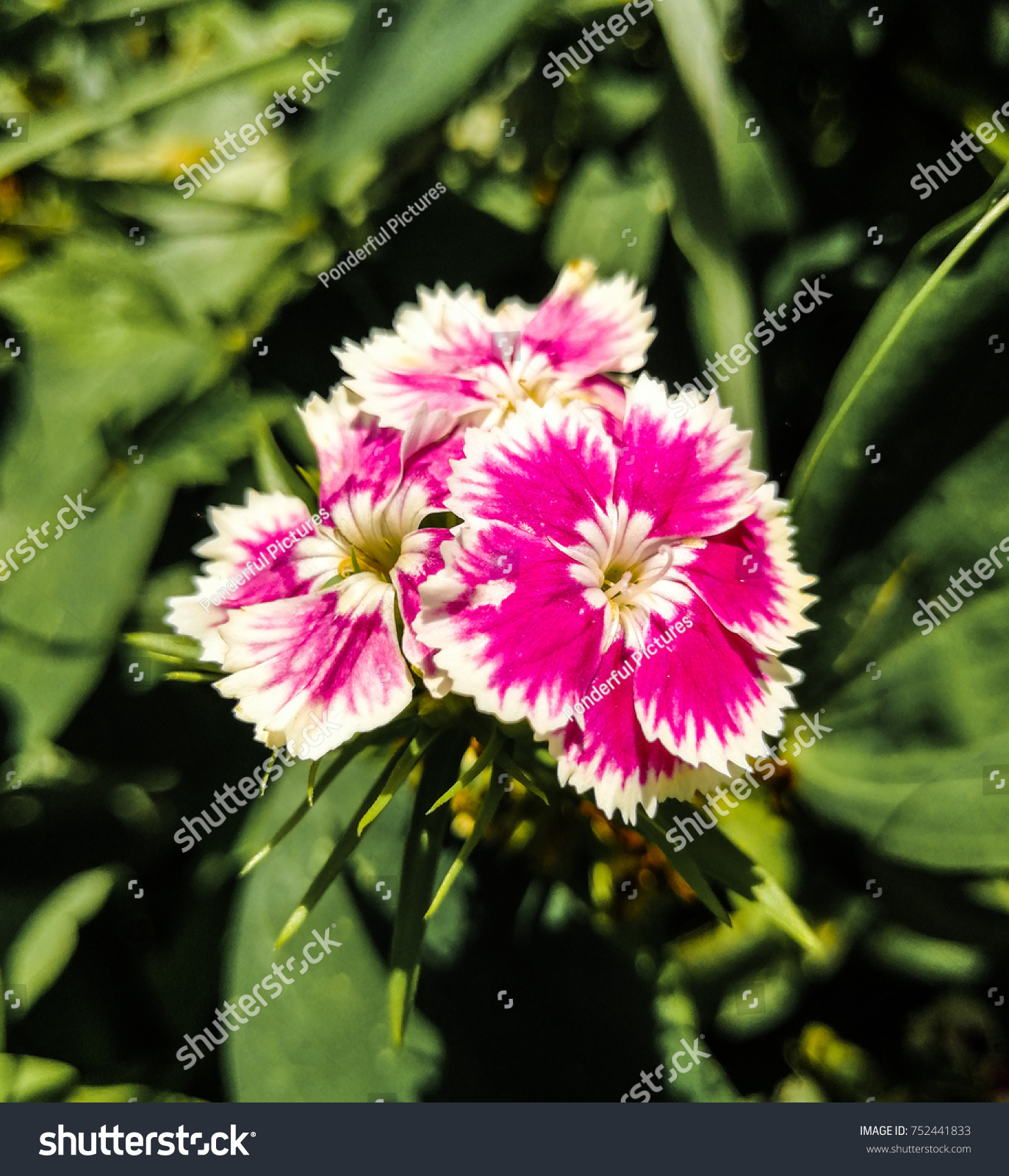 Pretty Pink White Sweet William Flowers Stock Photo Edit Now