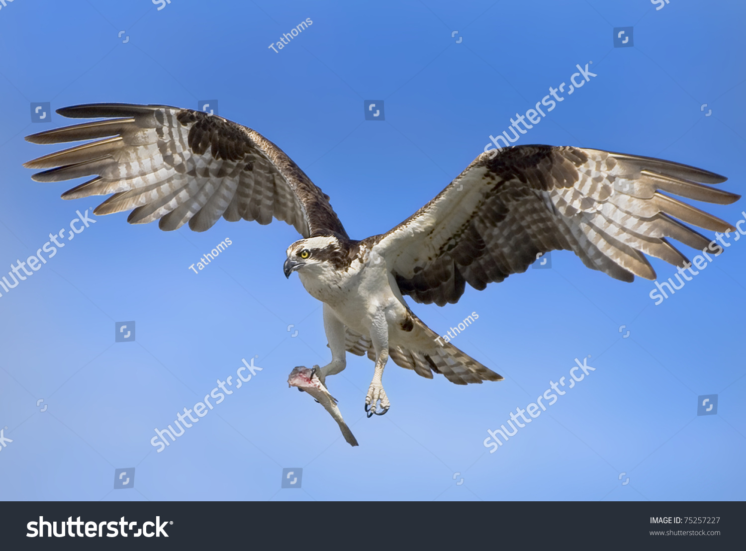 stock-photo-osprey-with-prey-in-flight-l