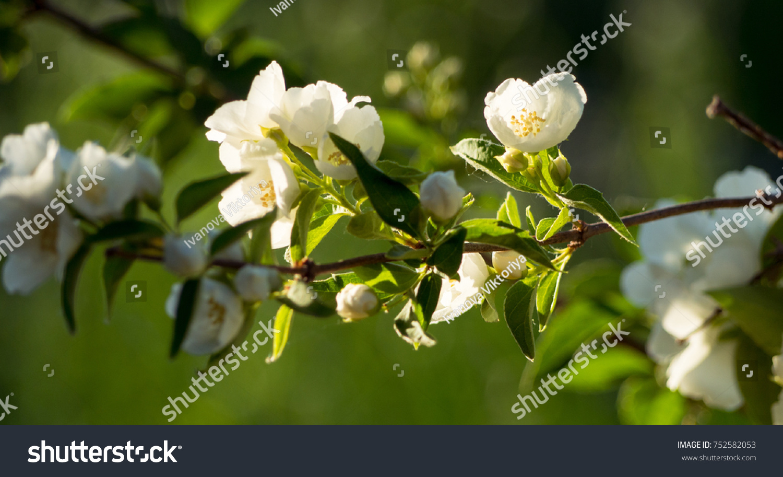 A Bunch Of Jasmine Flowers Horisontal Ez Canvas