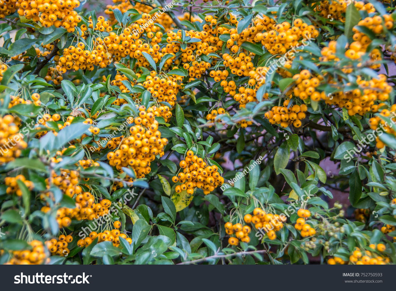 Evergreen Shrub With Yellow Berries Ez Canvas
