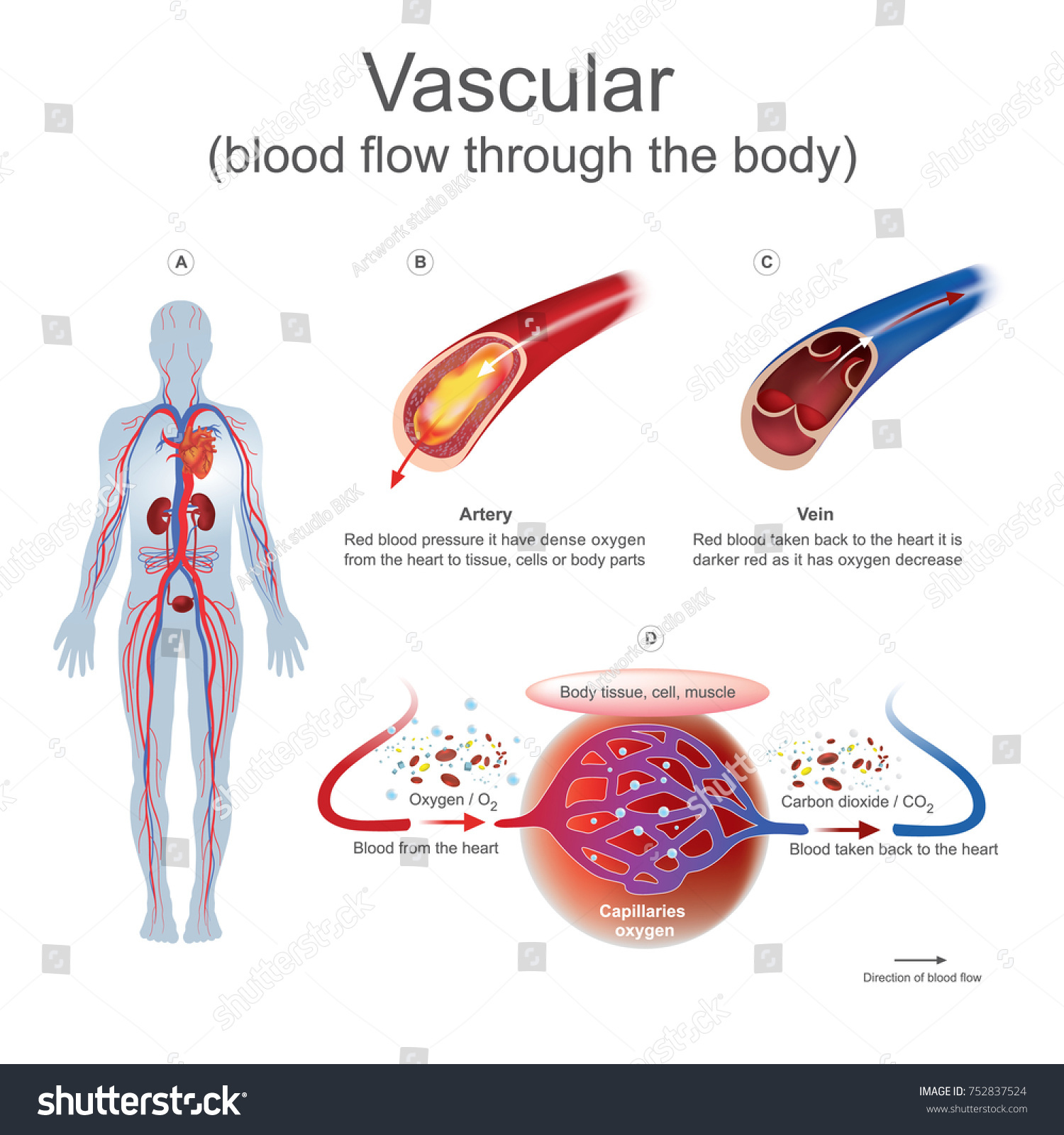Tissue human anatomy