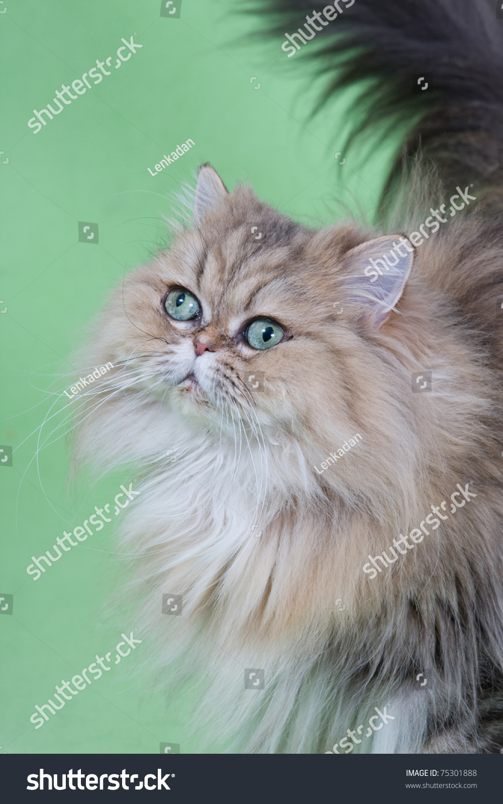Golden Chinchilla Persian Cat Green Stock