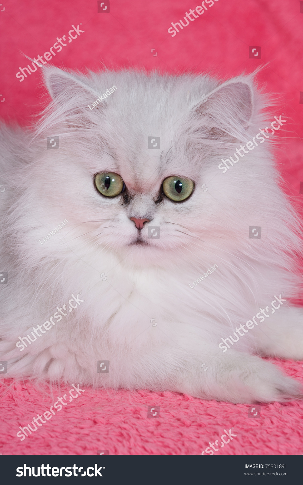 Silver Chinchilla Persian Cat Pink Stock