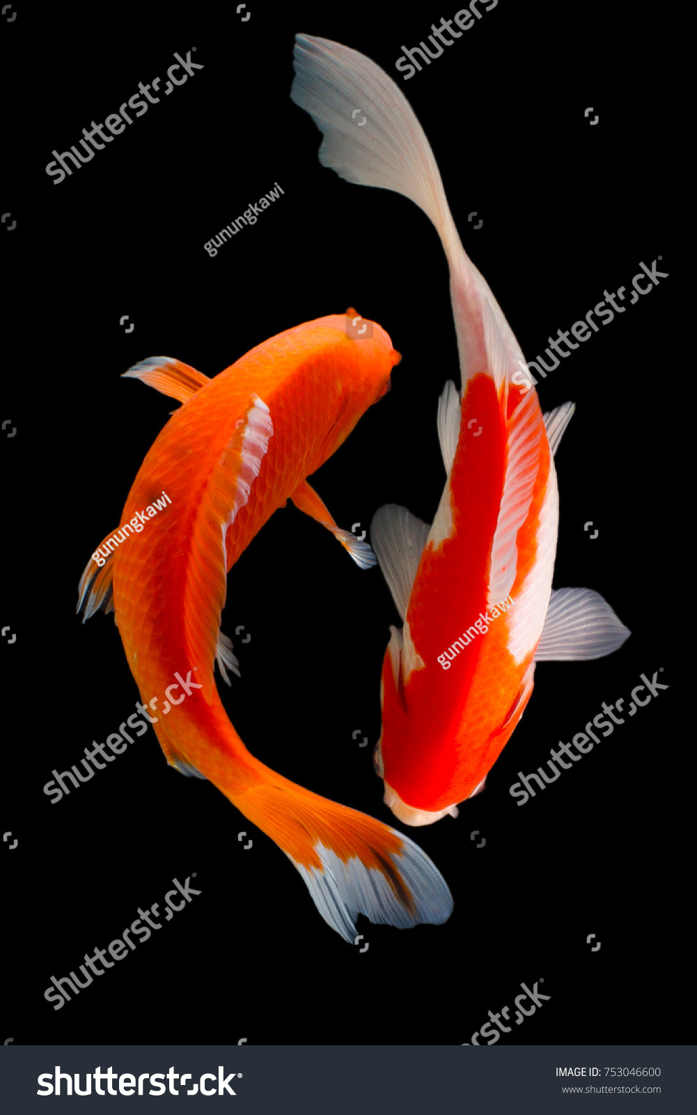 Koi Fish H Itam Red Silver Gold Stock Photo (100% Legal Protection ...