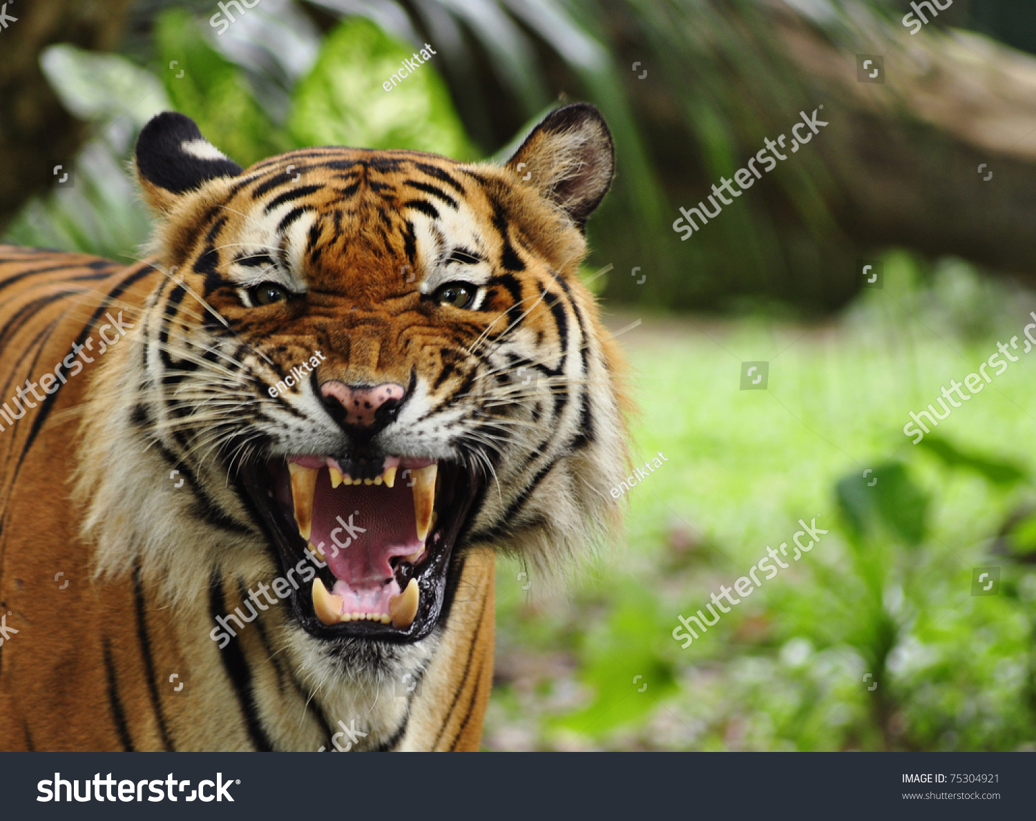 Royal Bengal Tiger Face | www.imgkid.com - The Image Kid ...