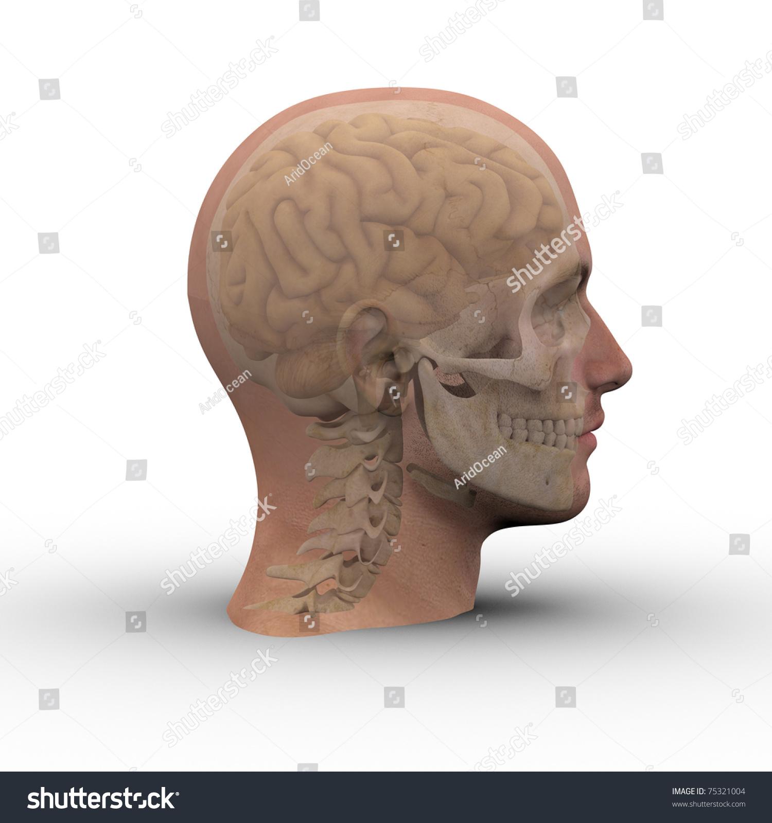 Male Head Skull Brain Showing Through Stock Illustration 75321004 ...