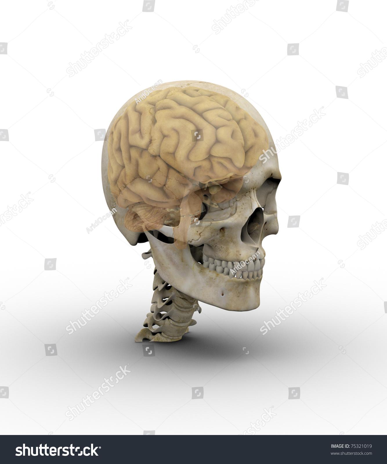 Male Skull Brain Showing Through Transparent Stock Illustration ...