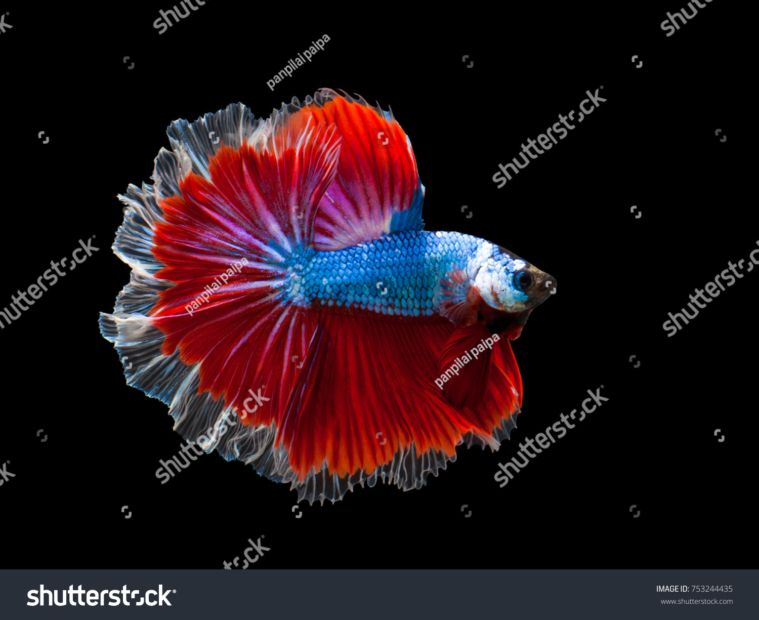 Multi Color Siamese Fighting Fish Rosetail Blue Fighting Stock Photo ...