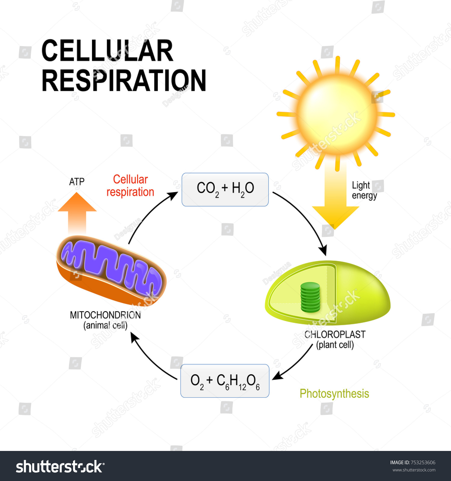 photosynethesis cycle diagram Photosynthesis quiz: test your knowledge  11 during the aforementioned photosynthetic carbon reduction cycle,.