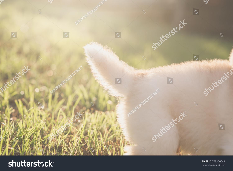 Close Tail Siberian Husky Puppy Under Stock Photo Edit Now