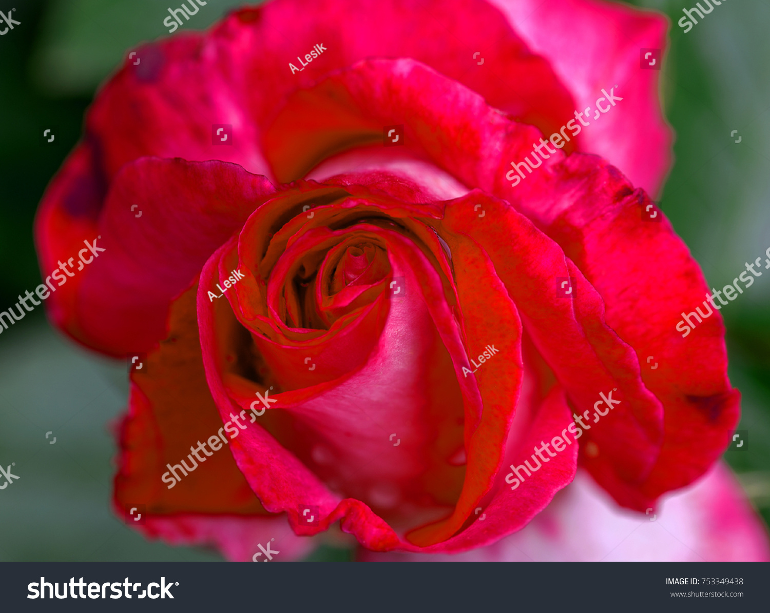 Beautiful flower of a red rose a background of a border rose as a id 753349438 izmirmasajfo