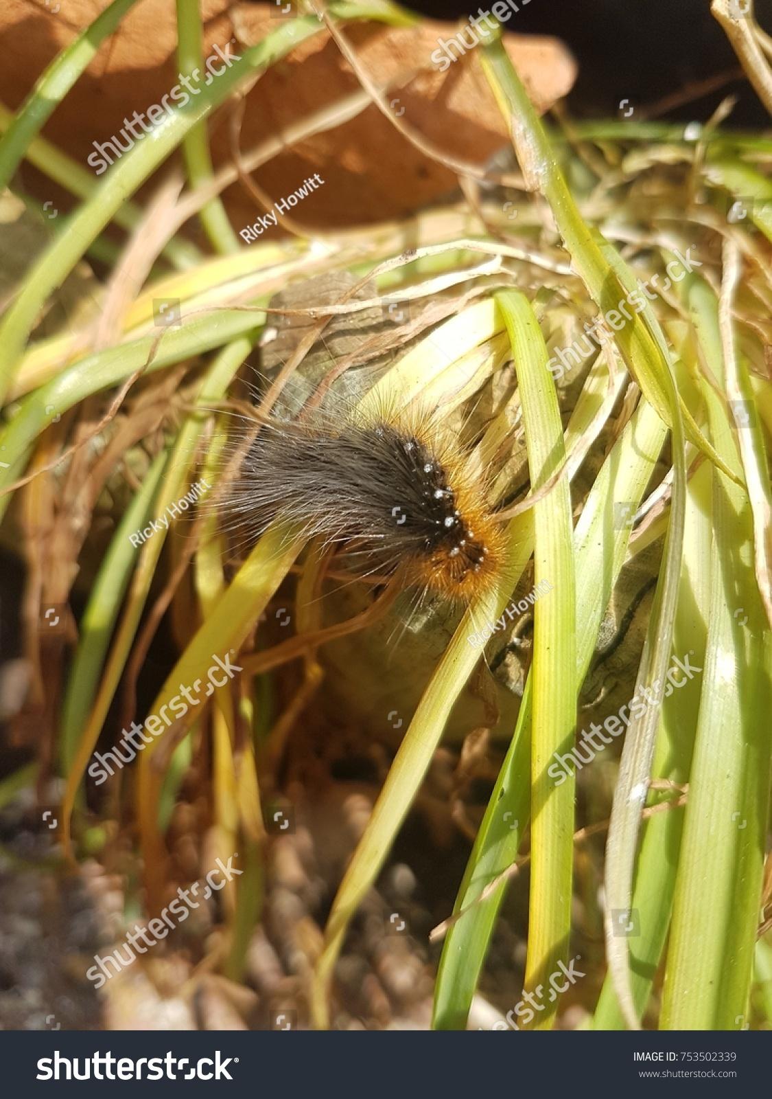 Garden Tiger Moth Caterpillar Stock Photo (Royalty Free) 753502339 ...
