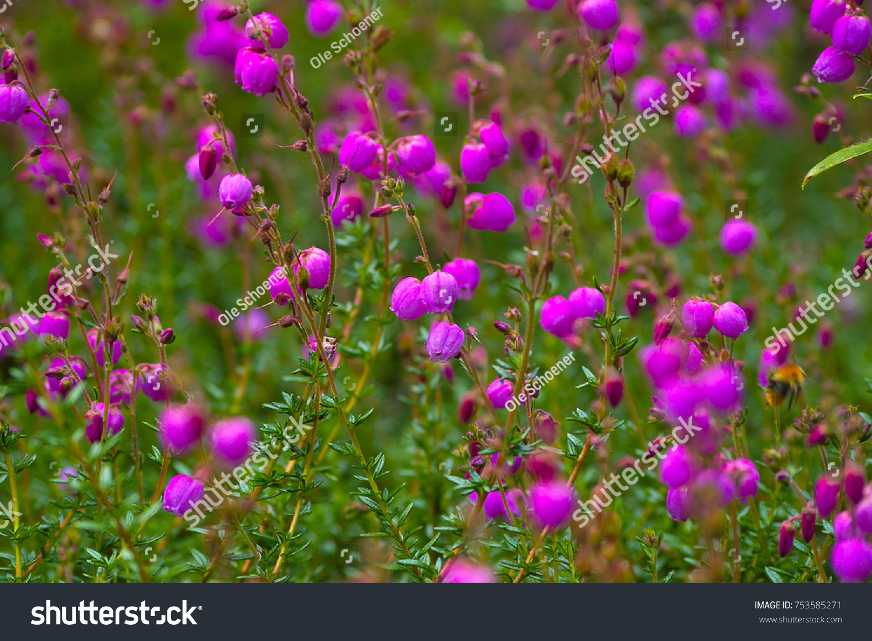 Pink Flowers Daboecia St Heath Daboecia Stock Photo Edit Now