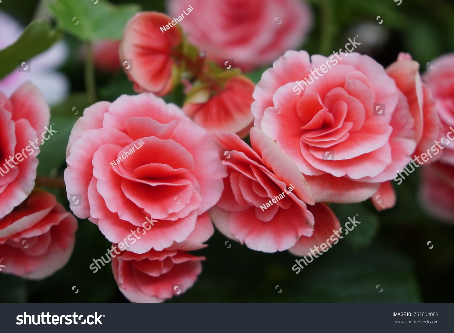 The beautiful valentines pink rose decorationfresh colorful id 753604063 izmirmasajfo