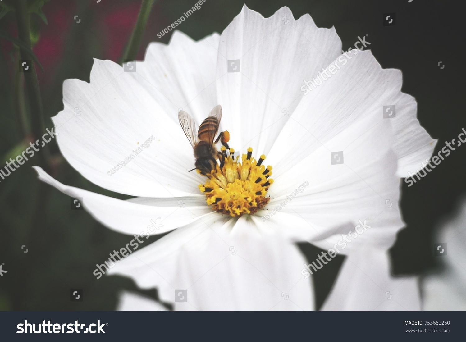 Bee With White Cosmos Flowers Ez Canvas