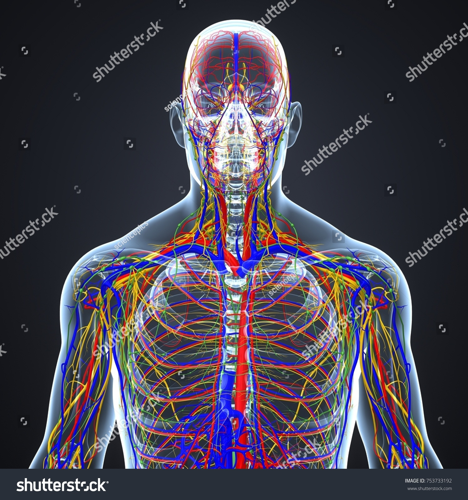 Circulatory System Nerves Lymph Nodes 3 D Stockillustration